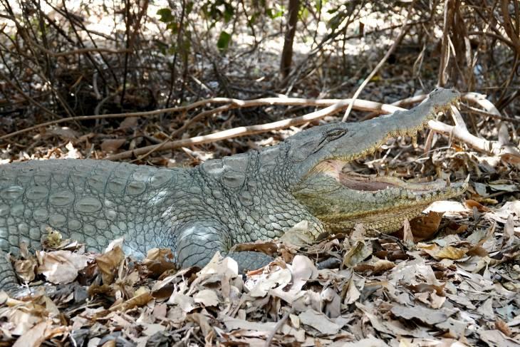 Gambia RonReizen krokodil