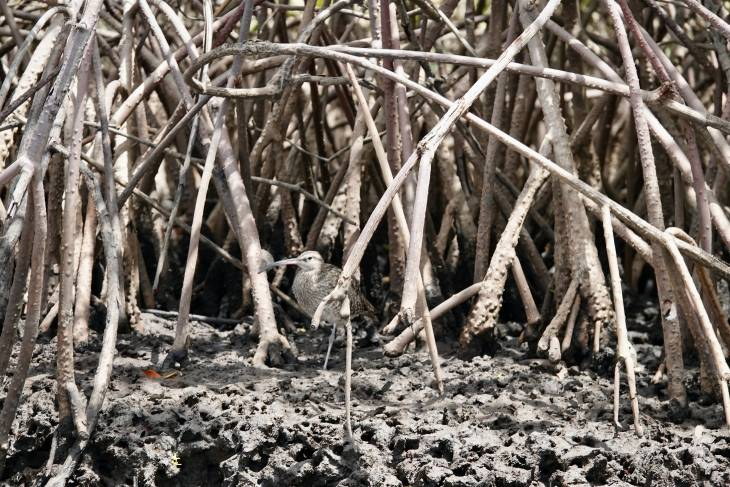 Gambia RonReizen mangrove
